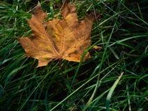Więdnący liść kłama w trawie w jesieni Zdjęcia Royalty Free