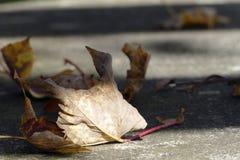 Więdnący liść, transience w brązie i szarość, Fotografia Stock