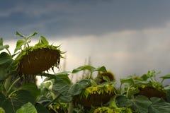 Więdnący słonecznik zdjęcie royalty free