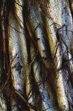 Więdnący Stary Banyan Drzewny bagażnik Obrazy Stock