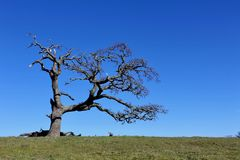 Więdnący Stary Dębowy drzewo Stoi Samotnie Zdjęcia Royalty Free