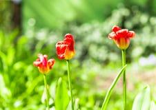 Więdnący tulipany w słońcu Obraz Stock
