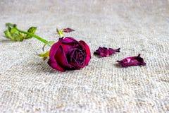 Więdnę blakł róże Obraz Stock