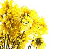 Więdnie żółtego chryzantema kwiatu na białym tle obraz royalty free