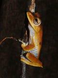 Więzień drzewna żaba przy nocą Obrazy Stock
