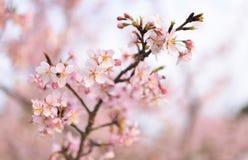 Wiśni gałąź i kwiaty Obrazy Royalty Free