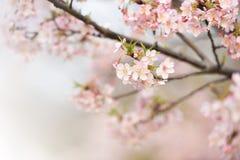 Wiśni gałąź i kwiaty Fotografia Royalty Free
