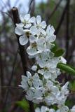 Wiśni gałąź w kwiacie Zdjęcie Stock