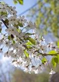 wiśnia kwitnie drzewnego biel obrazy stock