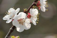 Wiśnia kwitnie na gałęziastym drzewie przy wiosną w słonecznym dniu Zdjęcie Stock