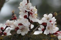 Wiśnia kwitnie na gałęziastym drzewie przy wiosną w słonecznym dniu Obraz Stock