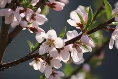 Wiśnia kwitnie na gałęziastym drzewie przy wiosną w słonecznym dniu Fotografia Royalty Free