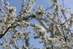 Wiśnia kwitnie na gałęziastym drzewie przy wiosną w słonecznym dniu Zdjęcia Royalty Free