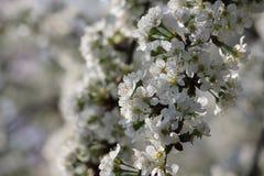 Wiśnia kwitnie na gałęziastym drzewie przy wiosną w słonecznym dniu Zdjęcia Stock