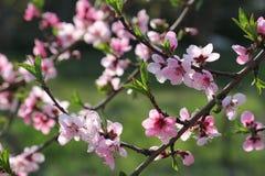 Wiśnia kwitnie na gałęziastym drzewie przy wiosną w słonecznym dniu Obraz Royalty Free