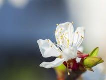 wiśnia kwitnie w wiośnie Obrazy Royalty Free