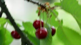 Wiśnia na drzewie 4k zbiory wideo