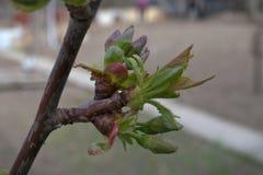 Wiśnia zaczyna roślinność i kwiat Zdjęcie Stock