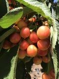 wiśnie i czereśnie dżdżyste zdjęcia stock