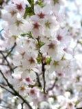wiśnie kwiaty Obraz Royalty Free