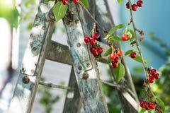 Wiśnie na drzewie zdjęcie stock