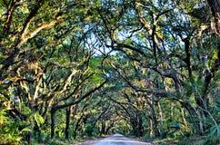 Wi assustadores de Marsh Oak Trees Tunnel da estrada de terra da plantação da baía da Botânica Foto de Stock