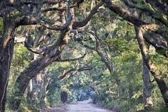 Wi assustadores de Marsh Oak Trees Tunnel da estrada de terra da plantação da baía da Botânica Imagens de Stock
