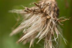 Więdnie dandelion, makro- Zdjęcie Stock