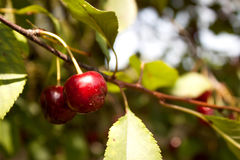 wiśni czerwieni cukierki Obraz Royalty Free