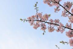 Wiśni niebieskie niebo i kwiaty Obraz Royalty Free