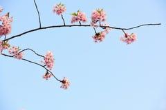 Wiśni niebieskie niebo i kwiaty Zdjęcia Stock