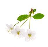 wiśnia kwitnie drzewnego biel trzy Zdjęcie Royalty Free