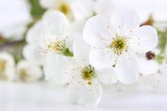 Wiśnia kwitnie na bielu obrazy stock