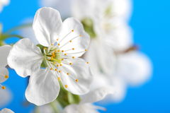 Wiśnia kwitnie nad niebieskim niebem obraz royalty free