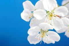 Wiśnia kwitnie nad niebieskim niebem zdjęcia royalty free