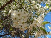 Wiśnia w kwiacie Fotografia Royalty Free