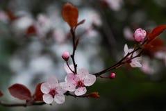 wiśnie kwiaty Zdjęcia Royalty Free