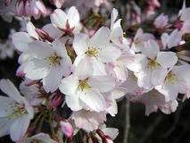 wiśnie kwiaty Obrazy Stock