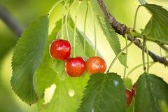 Wiśnie na drzewie Zdjęcia Stock