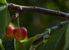 Wiśnie w Provence, Francja Zdjęcia Royalty Free
