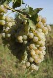 wiązek winogrona Fotografia Royalty Free