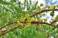 Wiązka agrest na drzewie Obraz Stock