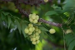 Wiązka agrest, Phyllanthus acidus, gwiazdowa agrestowa owoc w t Fotografia Royalty Free