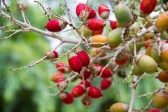 Wiązka areki catechu na drzewie Obraz Royalty Free