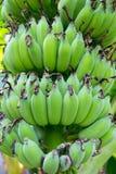 Wiązka banan na bananowym drzewie Zdjęcia Royalty Free