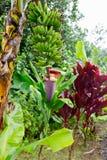 Wiązka banany blisko Hana autostrady, Maui, Hawaje Obraz Royalty Free
