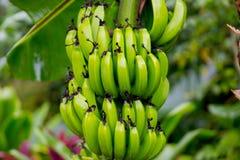 Wiązka banany blisko Hana autostrady, Maui, Hawaje Zdjęcia Royalty Free