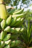 Wiązka banany na drzewie Zdjęcie Stock