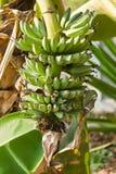 Wiązka banany na drzewie Zdjęcia Royalty Free