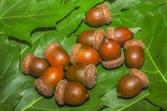 Wiązka brown acorns Obraz Stock
